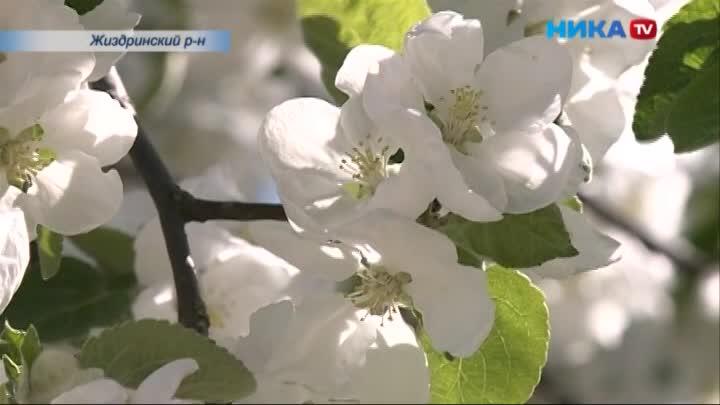 Самый большой яблоневый сад Калужской области зацвёл в Жиздринском районе